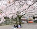 松阪公園の桜