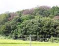 170819シイタケ原木がナラ枯れ
