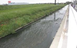明和の用水路に藻