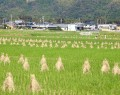 伊勢芋畑用のわら乾燥