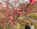 鈴の森公園梅咲く