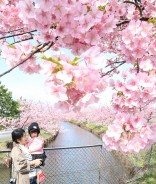 三雲の河津桜