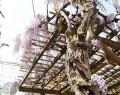 190420油屋町公園のフジ