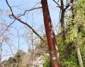 190410なめり湖皮はがされた桜咲く