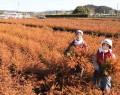 200305スギやヒノキ苗収穫