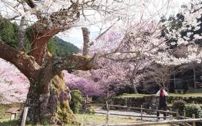 200325春谷寺の江戸ヒガン桜