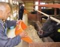 200417相可高の松阪牛、教員が飼育