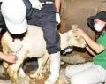 200514五桂動物園で毛刈り