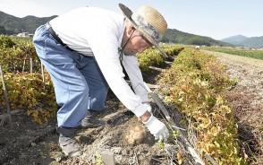 201009伊勢芋の収穫始まる