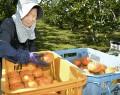 201019前川次郎柿の収穫