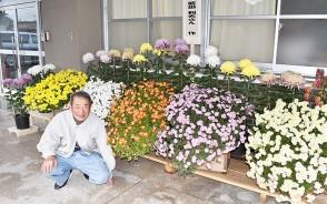 201130南小の懸崖菊