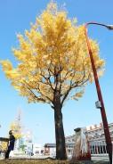 201118松阪駅前のイチョウ