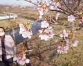 210206河津桜が咲き始める