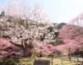 210319春谷寺で桜満開