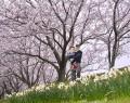 210331中村川堤防で桜と水仙共演