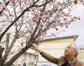 210407武四郎が愛した桜が見頃