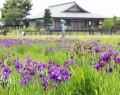 満開を迎えているノハナショウブ=明和町斎宮のいつき茶屋駐車場北側で