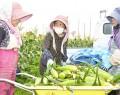 210618大淀のトウモロコシ