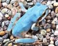 210903岩崎さん宅に青いカエル
