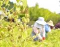 211022エゴマ収穫